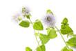 ウォーターミントの花のアップ