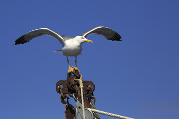 Yellow-legged gull (Larus michahellis) on the ship