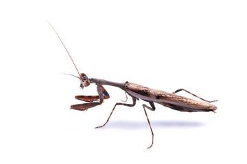 Mantis (Parasphendale affinis)