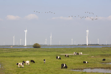 cows and wind turbines near Spakenburg in holland
