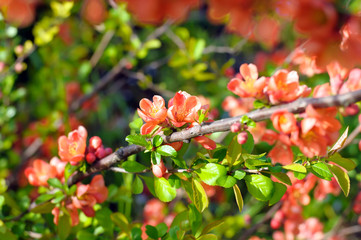 branch of Japanese quince