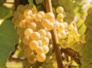 Weintrauben weiß an Rebe