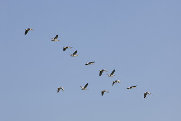 geese flying in blue sky