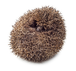 Hedgehog balled up