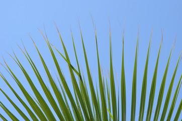 Leaves of fan-shaped Trachycarpus palm tree