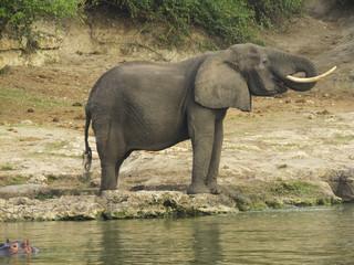 Elephant in the african savannah