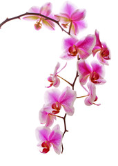 Pink flowers orchid on a white background.