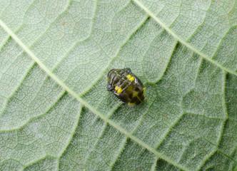 Metamorphose (Käfer)