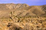 Joshua Trees (Yucca brevifolia) Desert Ecosystem poster