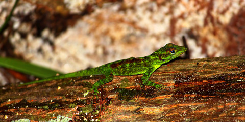 Anole at Toro Negro State Forest Puerto Rico