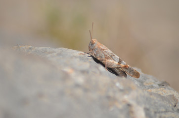 Tiny brown grasshopper on a rock