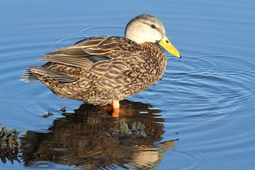 Male Mottled Duck In The Florida Everglades