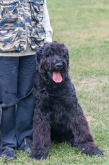 Black Russian Terrier dog sitting near the master's legs