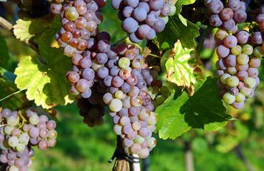Schöne reife Weintrauben