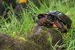 Leinwanddruck Bild - Wood Turtle
