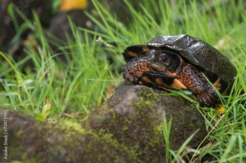 Leinwanddruck Bild Wood Turtle