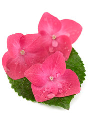 Hortensia hydrangea pink flower on white background