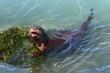 ������, ������: River Otter Lontra canadensis