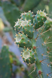 Prickly Pear - 70479167