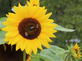 Sunflower with three bees at the garden