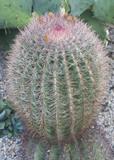 Cactaceae - 70479358