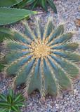 Cactaceae - 70479362