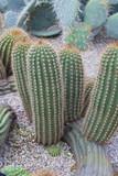 Cactaceae - 70479591