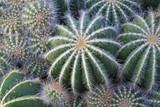 Cactaceae - 70479593