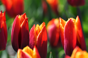 Tulpen. Rote Flamme