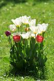 Tulpen im Garten. Aufbruch