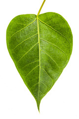 Banyan Tree young leaf, Ficus Religiosa plant