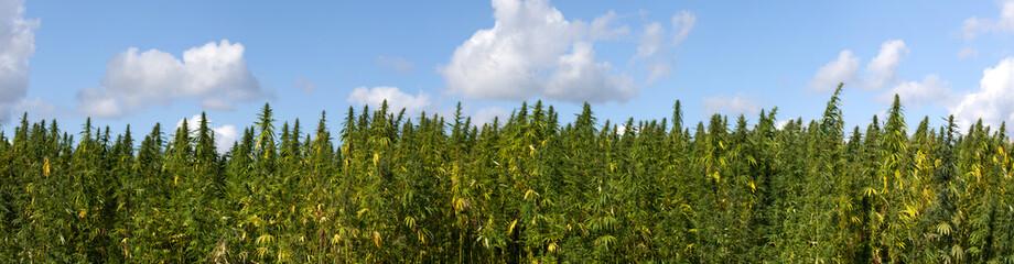Hanfplantage Panorama