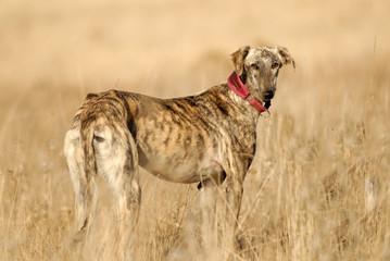El  perro galgo corredor