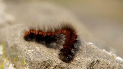 Big brown hairy caterpillar sleeping on a rock