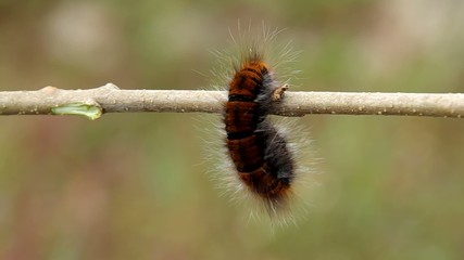 Big hairy caterpillar on the branch