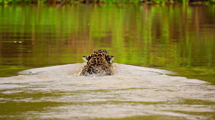 Jaguar swimming in Pantanal wetlands river (Rear view)