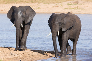 Elephant walking in water to have a drink and cool down on hot d