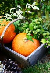 potimarrons,récolte d'automne au jardin potager
