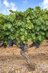 Grappes de raisin dans vigne