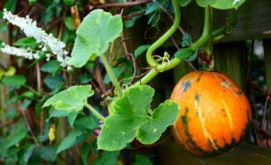 petit potiron bio,plant et feuilles  au potager