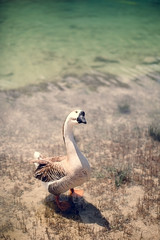 geese near the lake