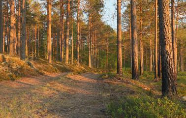 Sunlit pine forest, Finnmarken, Dalarna, Sweden