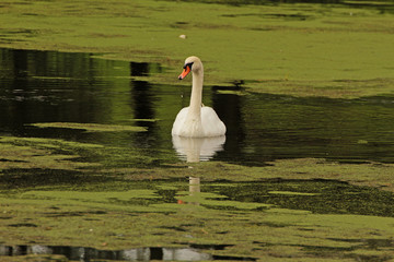 white adult swan on pond in nature