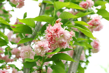 Beautiful fruit blossom, outdoors