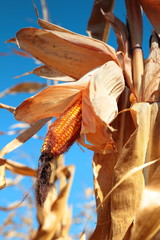 golden ripe corn plant
