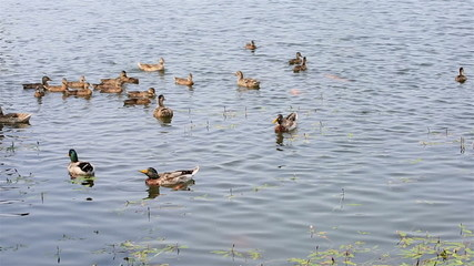 Duck with ducklings swimming in the pond.