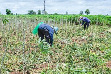 Farmer in cassava farm field