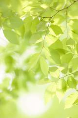 新緑のケヤキの並木