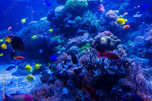 tropical fishes meet in blue coral reef sea water aquarium . Und - 70498723