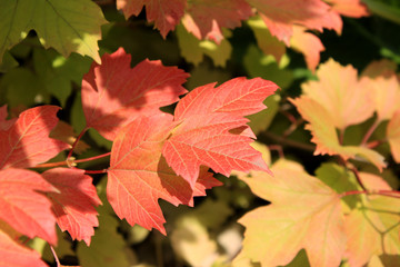 Autumn colors. Red, ylelow  and green leaves of viburnum